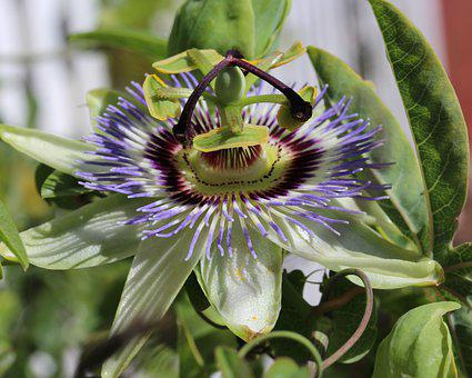 Passion Fruit, Blossom, Unusual, Bloom, Colourful