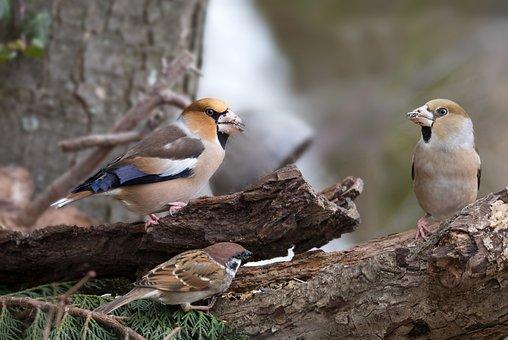 Bird, Core Beisser, Nature, Bill, Birds, Wild, Plumage