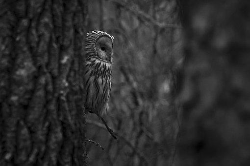 Ural Owl, Staring, Falconry, Hawk - Bird, Carnivore