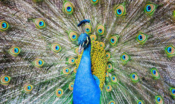 Peacock, Animal, Feather, Bird, Nature, Colorful
