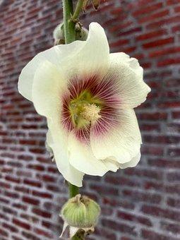 Stock Rose, Blossom, Bloom, Flower