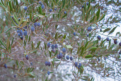Olives, Tree, Branch, The Olive Tree, Greens, Foliage