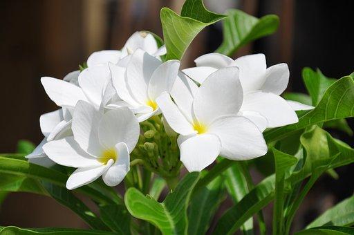 Frangipani, Flowers, Zen, India