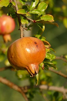Pomegranate, Apple, Fruit, Seed, Flora, Plant, Food