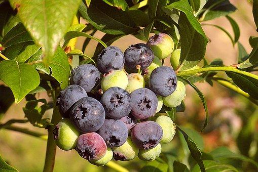 Blueberries, Fruit, Berries, Spray, Group, Food, Bush
