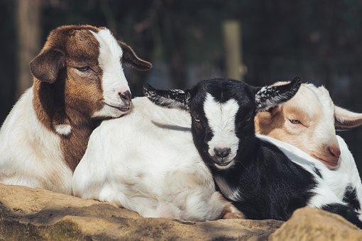 Goats, Young Animals, Snuggle, Sleep, Together