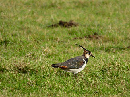 Lapwing, Peewit, Green Plover, Bird, Small Waders