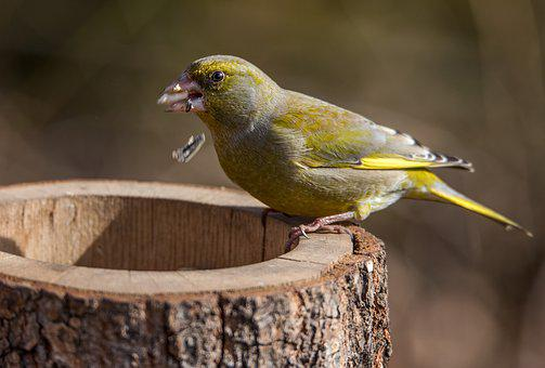 Greenfinch, Feeding Place, Grains, Feather, Green, Bill