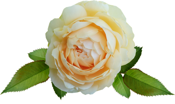 Flower, Yellow, Rose, David Austin, Greeting Card