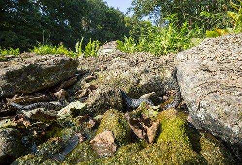 Vipera Berus, Common European Adder, Grass, Ground