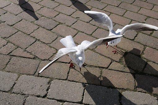 Animal World, Gulls, Nature, Wing