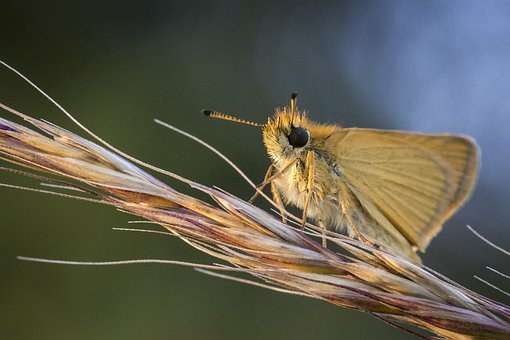 Essex Skipper, Thymelicus Lineola, Insect, Nature