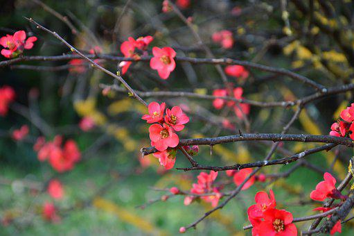 Japanese Quince, Plum, Blooms, Blossom, Spring