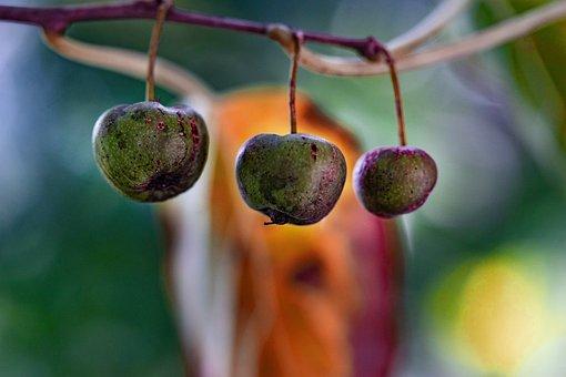 Autumn, Wild Fruit, Leave, Nature, Red