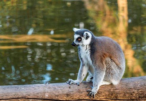 Lemur, Monkey, Animal, Cute, Sweet, Mammal, Madagascar