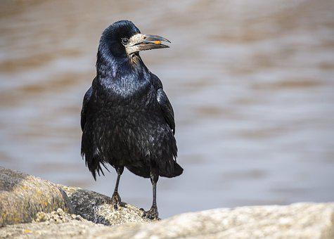 Rook, Corvus Frugilegus, Bird, Sea, Gray, Crow, Looking