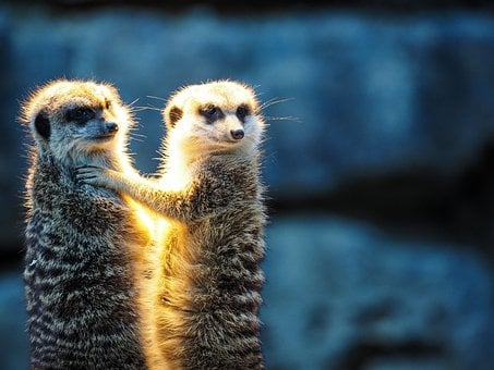 Zoo, Mongoose, Meerkat, Cute, Watch, Funny, Mammal