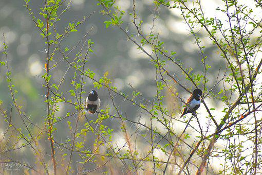 Tricolor, Munia, Taking, Her Breakfast