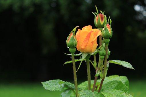 Rose, Raindrops, Bloom, Nature, Blossom, Flower, Rain