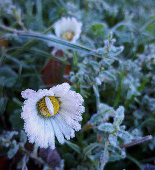 Daisy, Frost, Winter, Ice, Daisies, Nature, Flowers