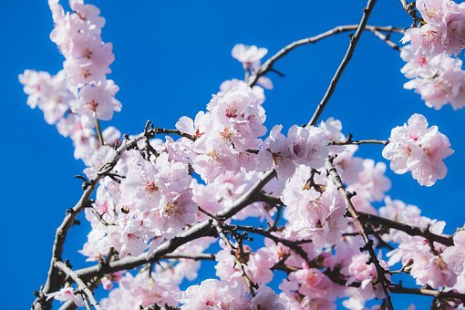 Ornamental Cherry, Flowering Twig, Branch, Blossom
