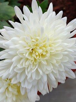 Flower, Petals, White Flower, White, Chamanti Flower