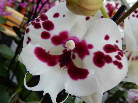 Orchid, White, Phalaenopsis, Red, Flower