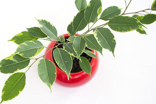 Pipal, Indoor Plant, Flower, Plant, Green, Leaves