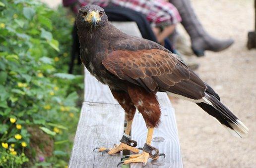 Harris Hawk, Bird, Raptor, Buzzard