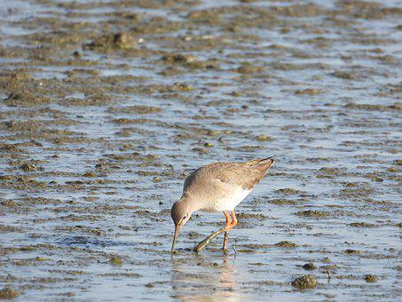 Redshank, Waders, Bird, Nature, Wetland