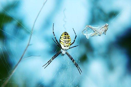 Tygrzyk Paskowany, Female, Spider
