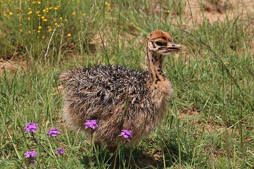 Strauss, Bouquet, Bird Bouquet, Ostrich, Nature, Africa