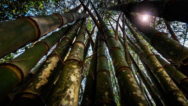 Bamboo, Lensflare, Tree, Grasses, Backlighting