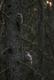 Ural Owl, Staring, Falconry, Hawk - Bird