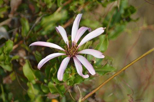 Reina Mora, Wild, Patagonia, Vine, Flower