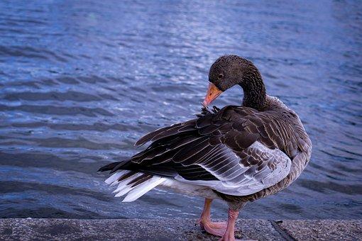 Duck, Pond, Clean, Water Bird, Plumage