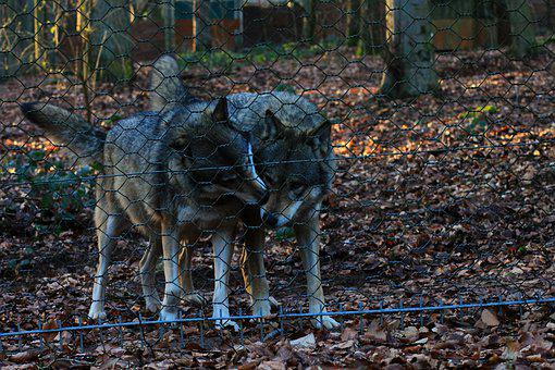 Wolves, Nature, Animal, Wild Animal