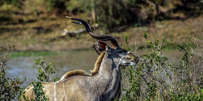 Kudu, Antelope, Africa, Nature, Wildlife, Safari