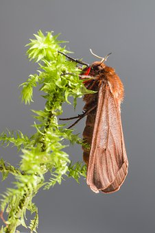 Ruby Tiger, Phragmatobia Fuliginosa, Insect, Animal