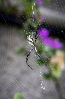 Banded Orb-weaving Spider, Argiope Trifasciata, Madeira