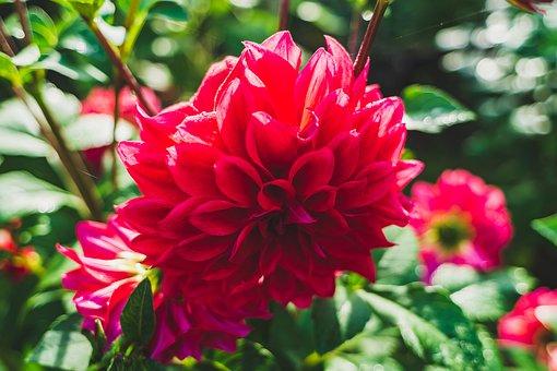 Flower, Beautiful, Colorful, Dahlia Blossom, Spring