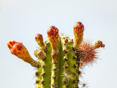 Cactus, Desert, Blossom, Bloom, Nature