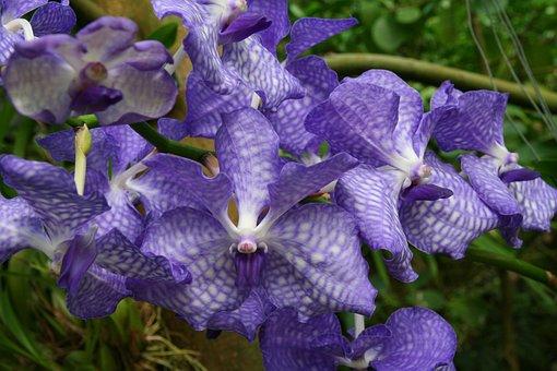 Orchids, Vanda, Blue, Orchid, Flora
