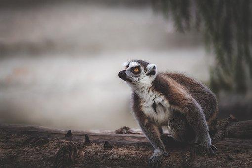 Lemur, Monkey, Animal, Cute, Animals, Sweet, Mammal