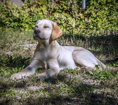 Dog, Labrador, Puppy, Pet, Race