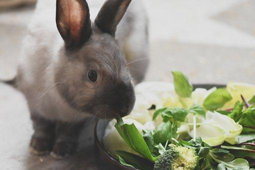Dwarf Rabbit, Color Dwarf, Pet, Rabbit, Dwarf Bunny