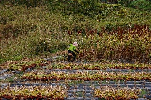 Harvest, Fall, Thanksgiving, Food, Farm, Nature, Woman