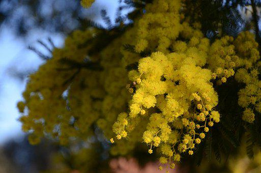 Mimosa, Woman, Spring, Inflorescence, Faye, Twig