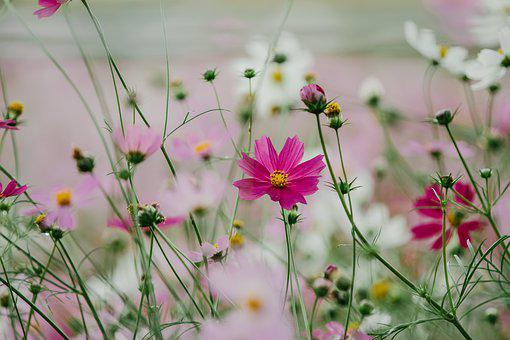 Flowers, Cosmea, Flower, Cosmos, Spring, Autumn