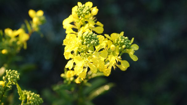 Rape Or Colza Seeds, Yellow, Nature, Flowers, Vegetable